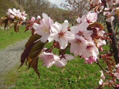 公園の桜より