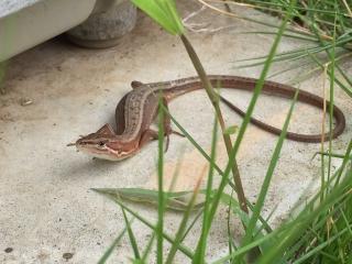ニホンカナヘビ 1