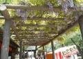 五百羅漢入口の藤棚