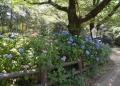 葵庭苑のアジサイ