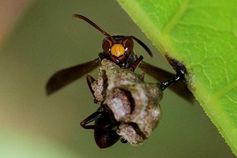 キボシアシナガバチ (2)s