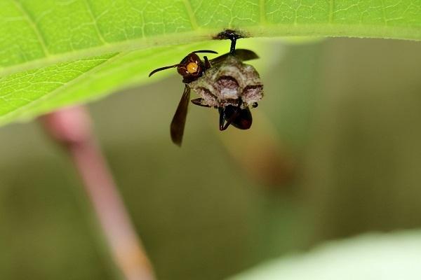 キボシアシナガバチ (3)s