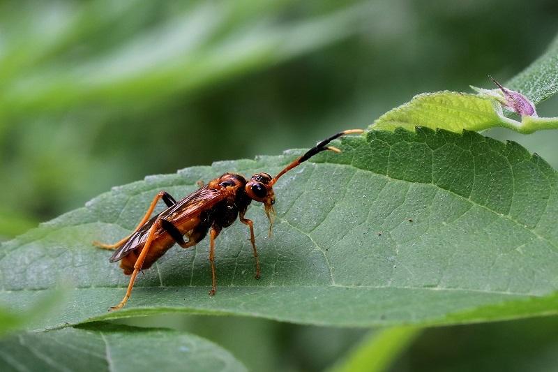 ヒゲナガハバチs