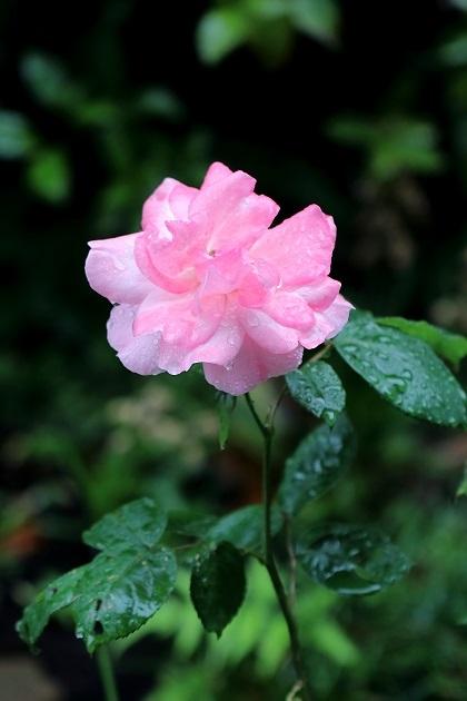 意味 の 薔薇 の の たる くれ 尺 ふる やわらか に 春雨 二 芽 ない 伸び 針 の