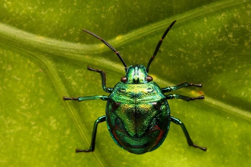 ナナホシキンカメムシ幼虫 (1)s