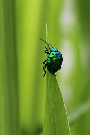 ナナホシキンカメムシ幼虫 (2)s