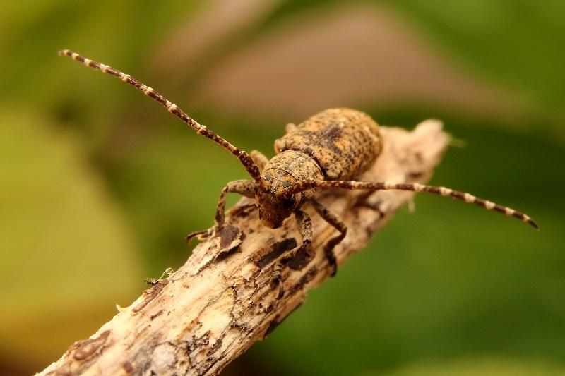 ハヤシサビカミキリ1s