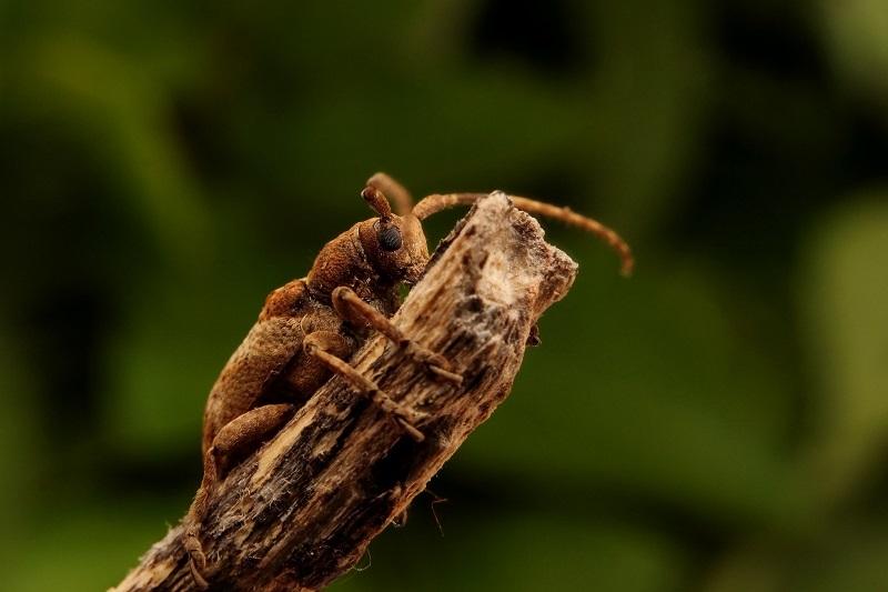 ワモンサビカミキリs