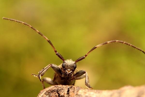 シロオビゴマフケシカミキリs
