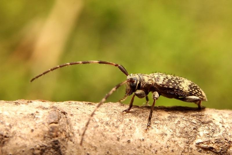 シロオビゴマフケシカミキリ2s