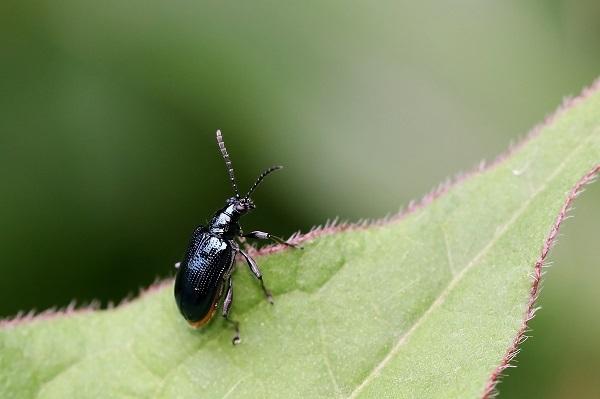 キバラルリクビボソハムシs
