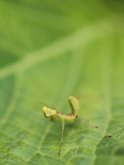 カマキ幼虫 (1)s
