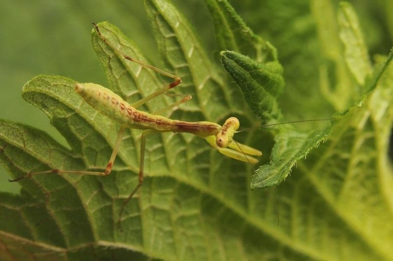 カマキ幼虫 (3)s