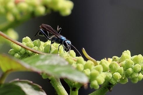 ヤマトルリジガバチ (2)