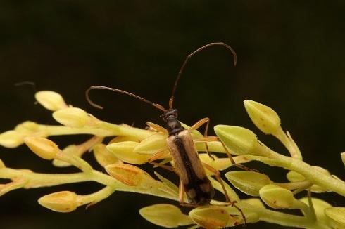 ホソガタヒメハナカミキリs (2)