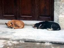 ハバナ街中の犬