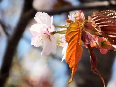 3富士下桜3