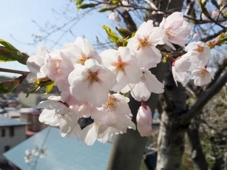 5富士下桜5