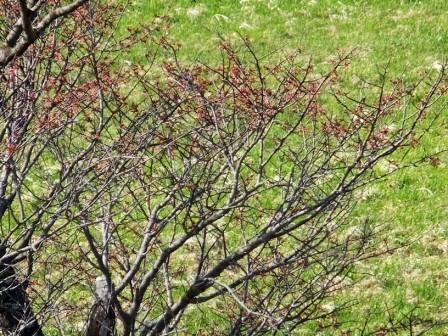 8崎守の桜2