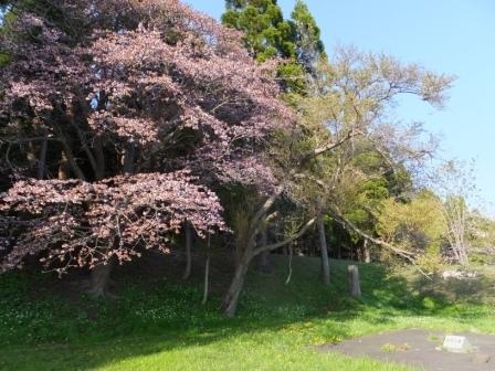 13南部陣屋の桜1