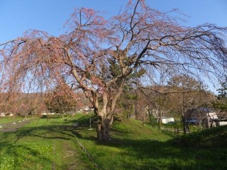 15南部陣屋の桜2