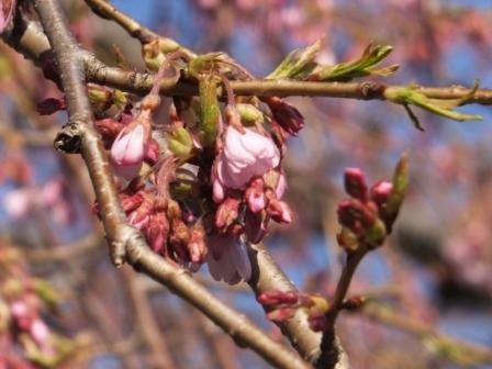 16南部陣屋の桜3