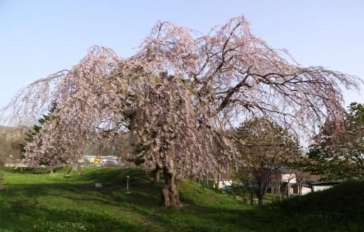 7日の桜1