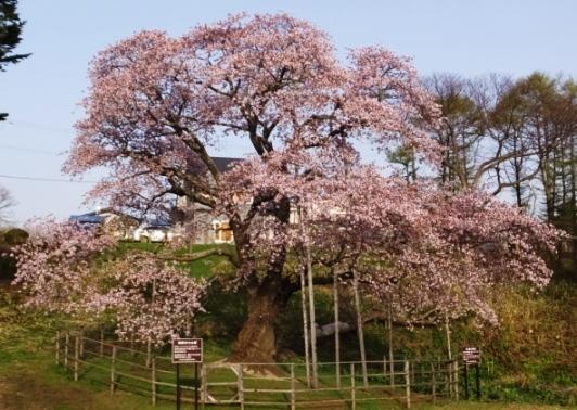 7日の桜7