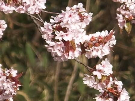 7日の桜5