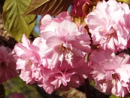 幌萌八重桜1