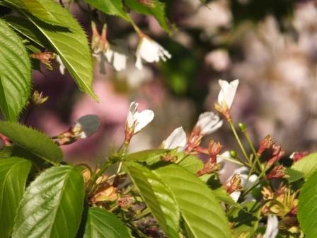 幌萌八重桜2