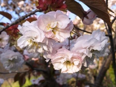 幌萌八重桜3