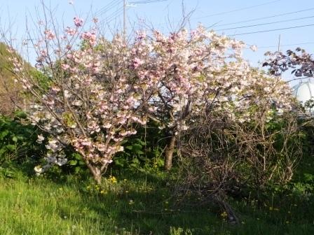 幌萌八重桜4