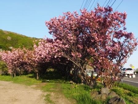 幌萌八重桜5