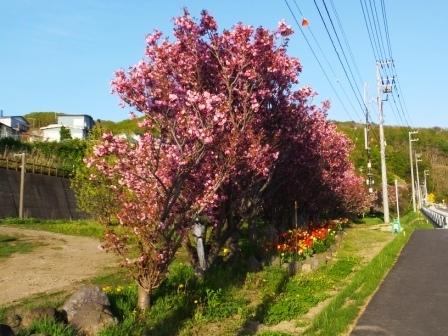 幌萌八重桜7