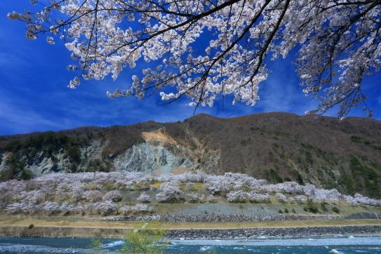 大崩落の大西山と桜花