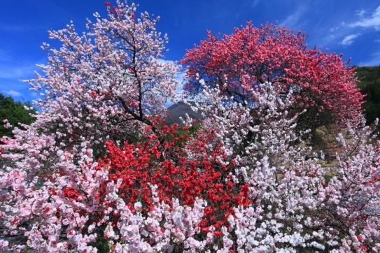 華やかな花桃