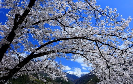 桜咲き競う大西公園
