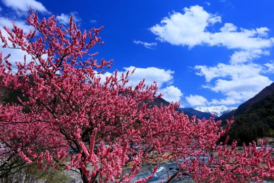 花桃と雲と赤石岳