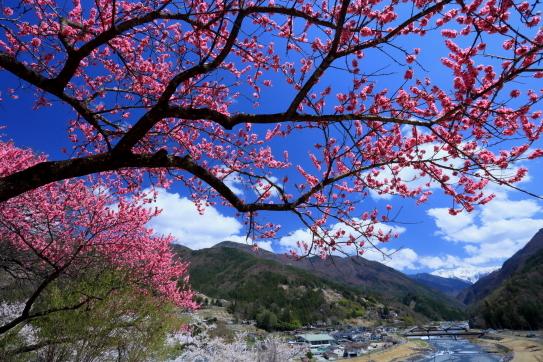 大河原と赤石岳を背後に咲く花桃