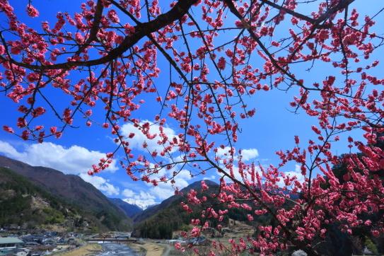 青空に枝を広げる花桃