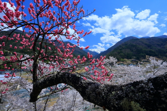 地を這う幹と桜と花桃