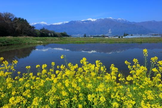 菜の花の咲く水田に映える残雪の中央アルプス