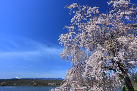 遅い春を迎えたシダレサクラと八ヶ岳