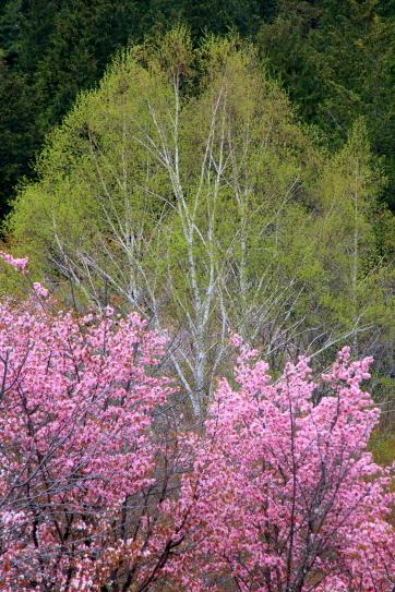 花は紅柳は緑・白樺と関山