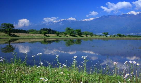 田植えを待つ水田に映えるハルジオンと西駒ヶ岳