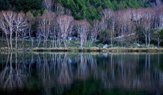 春を待つ木戸池畔の岳樺林