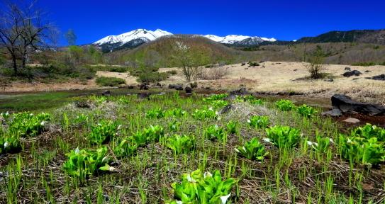ミズバショウ咲く池塘と残雪の乗鞍岳