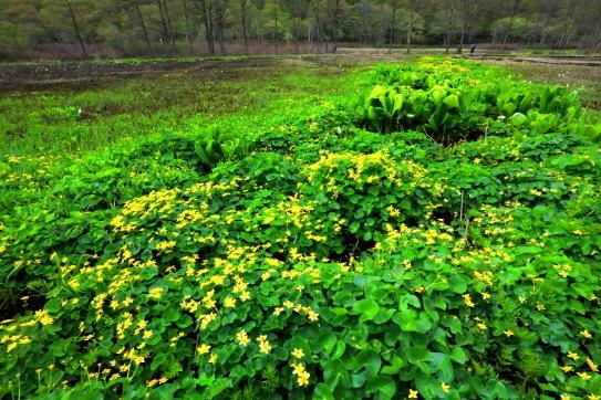 龍金花の広大な群落が展開する原生花園
