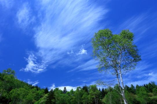 入笠湿原に展開する白樺と雲